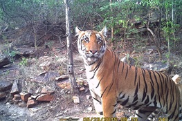New WCS Study Says Urbanization May Hold Key to Tiger Survival
